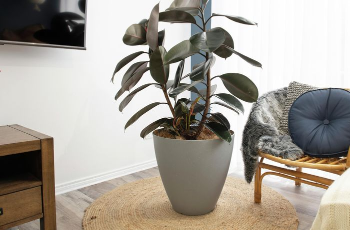 A large rubber plant in a white pot on a circular mat next to a cane seat