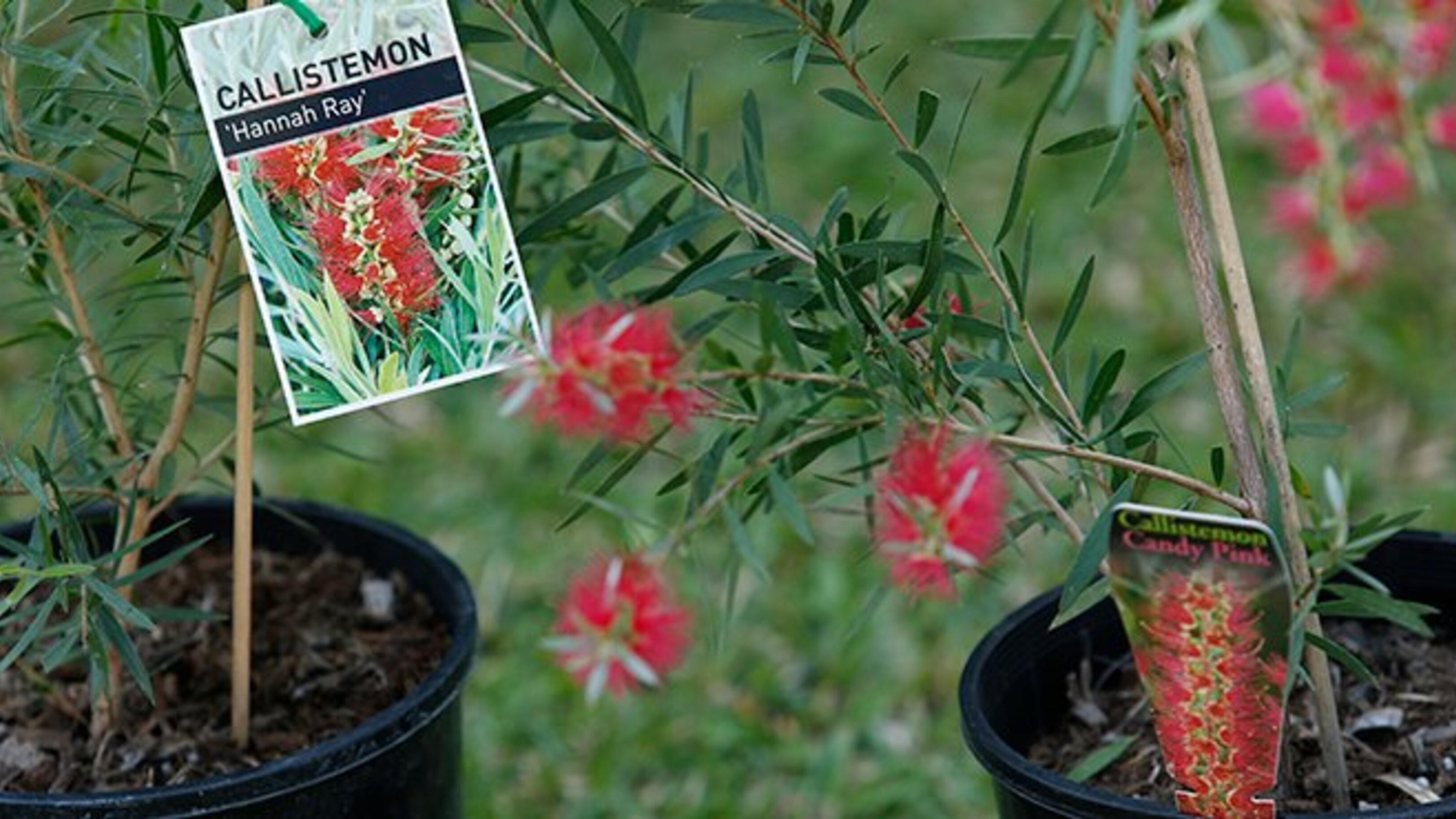 Callistemon 'Hannah Ray' plants in pots
