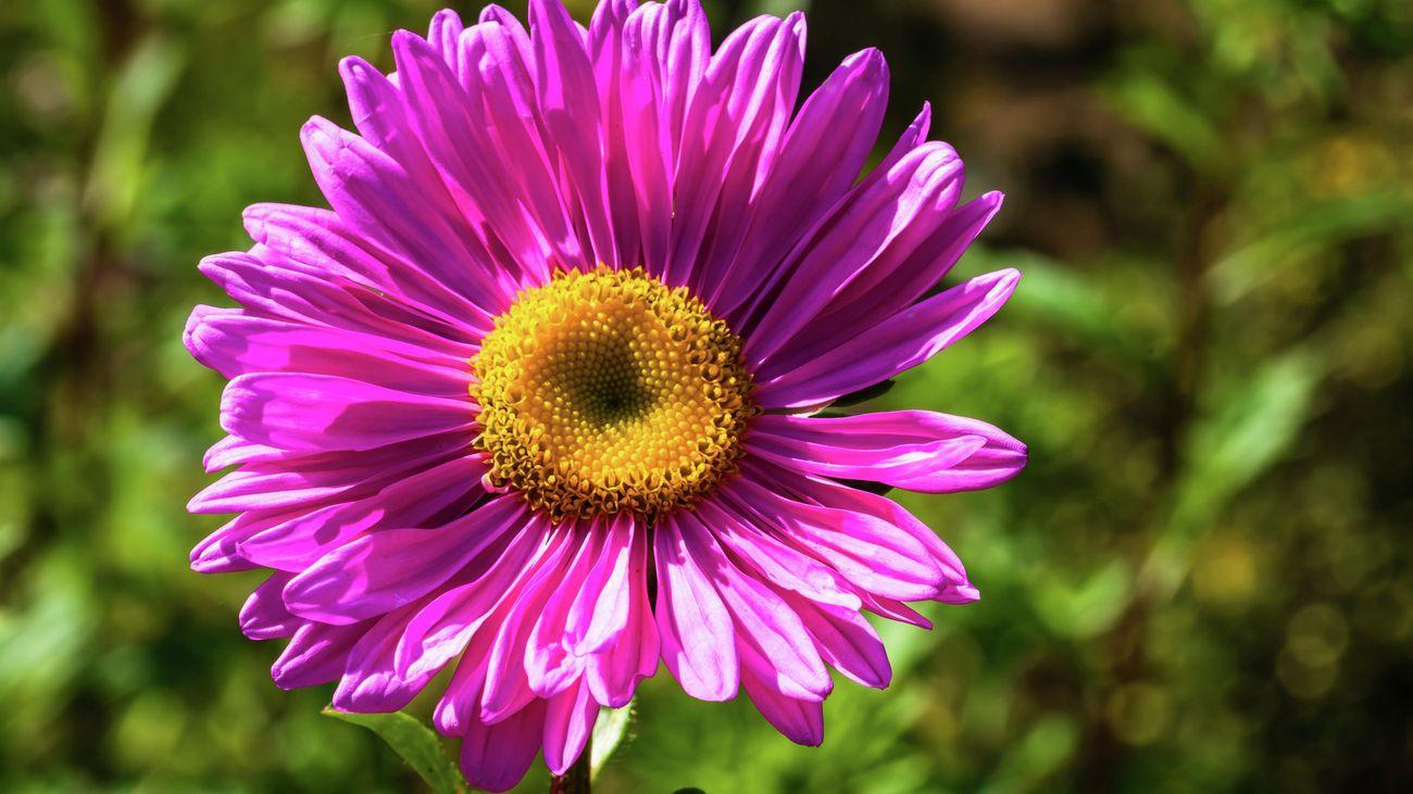 A purple aster flower
