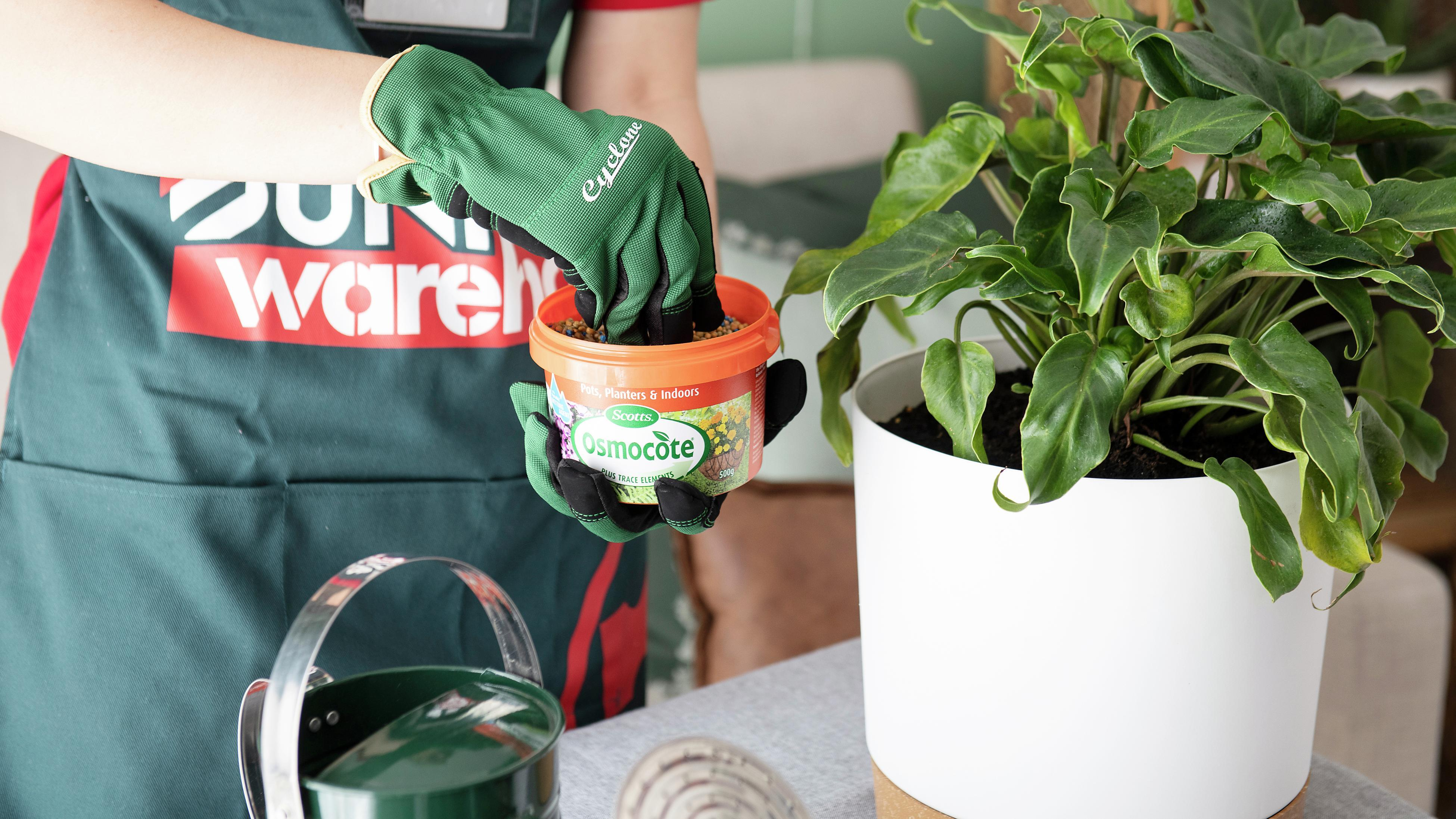 Person feeding a philodendron plant.