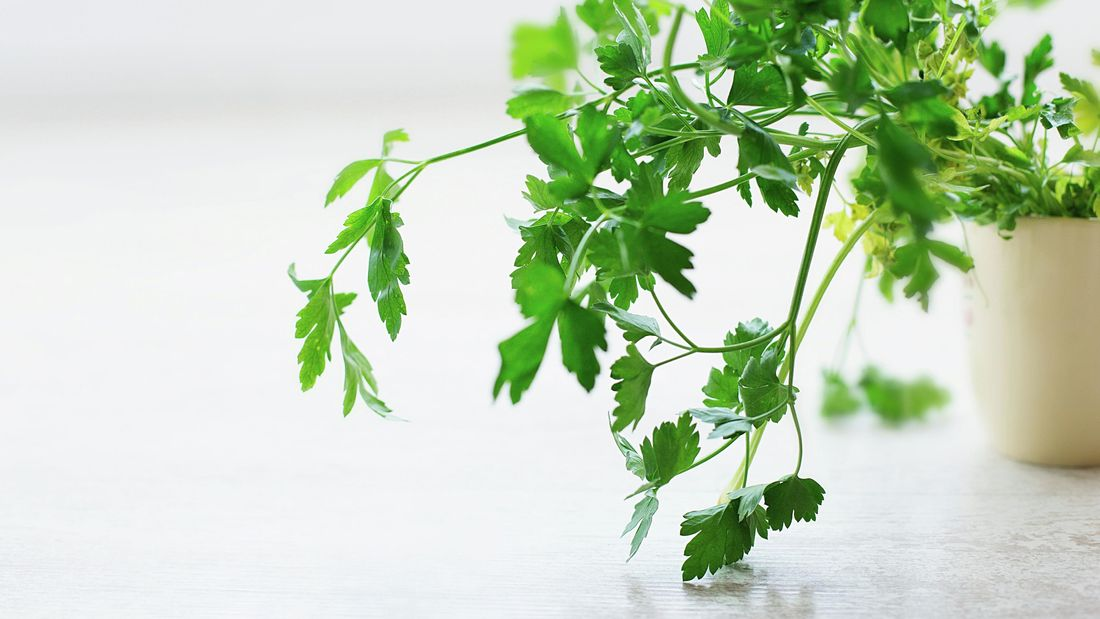 Lush green Italian parsley grows out of a pot.