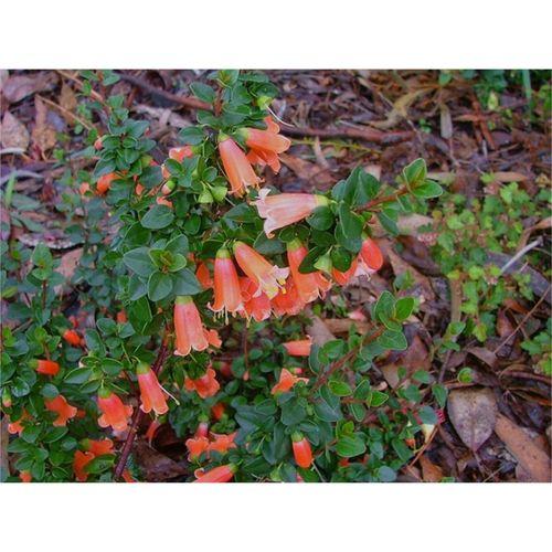 140mm Wild Fuchsia - Correa pulchella