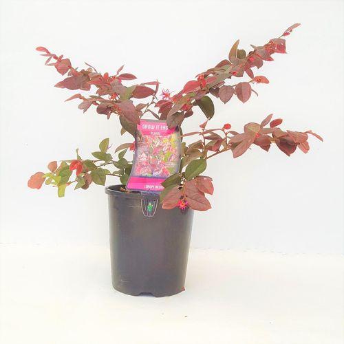 140mm Chinese Fringe-Flower - Loropetalum chinense rubrum