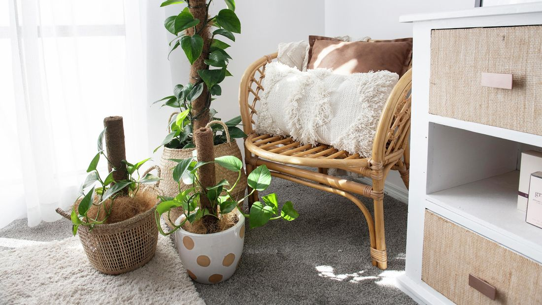 Devil's Ivy plant in an indoor setting next to a wicker chair and white cushion.
