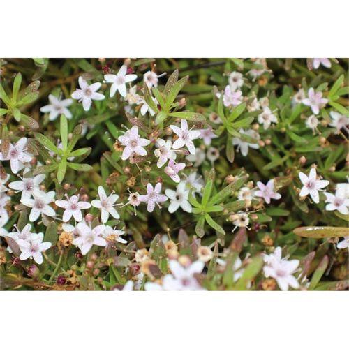140mm Creeping Boobialla Fine Leaf White - Myoporum parvifolium