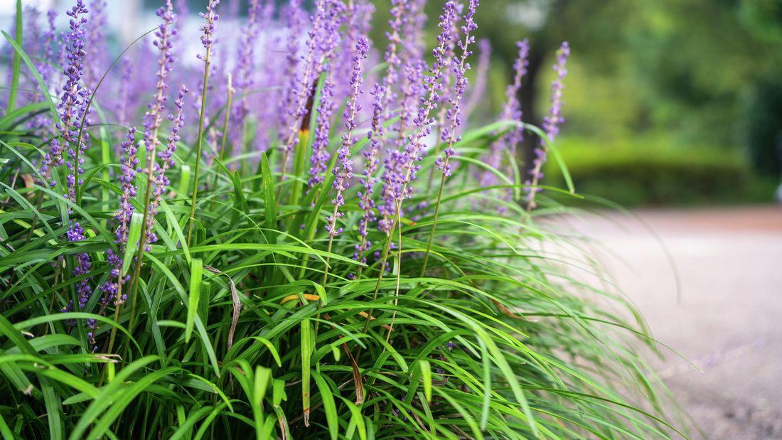 garden bed ofliriope plants with purple flowers