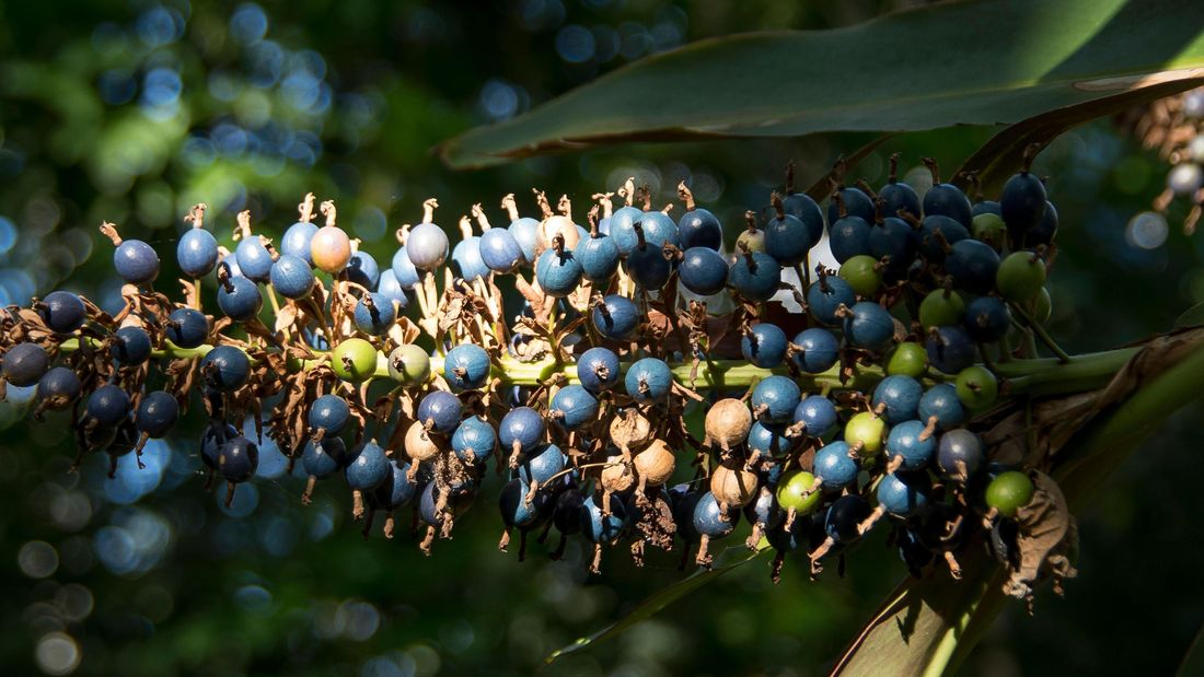 Spike of red back ginger with hundreds of blue berries