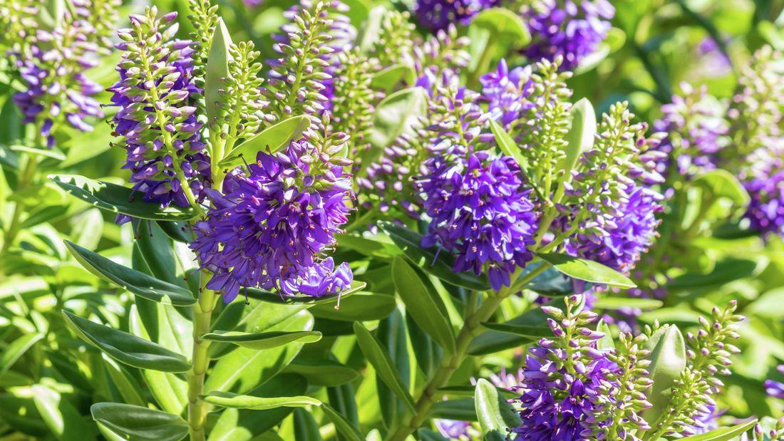 Purple hebe flowers on green bushes