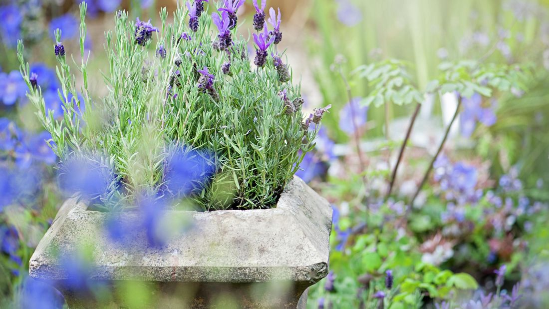 Lavender growing in an old stone planter