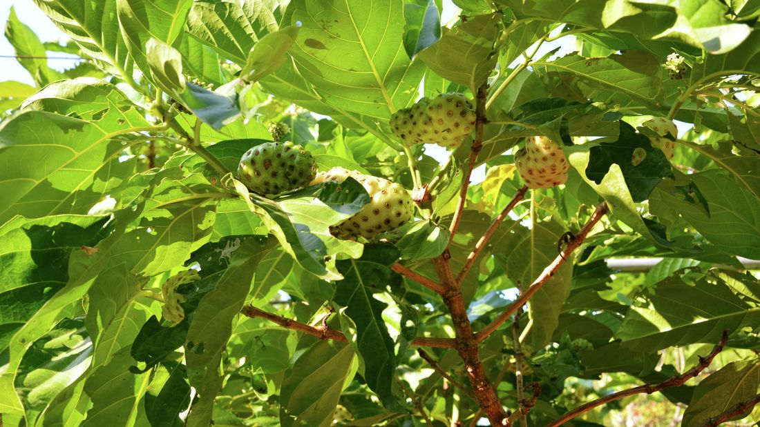 A noni tree with large green leaves and fruit