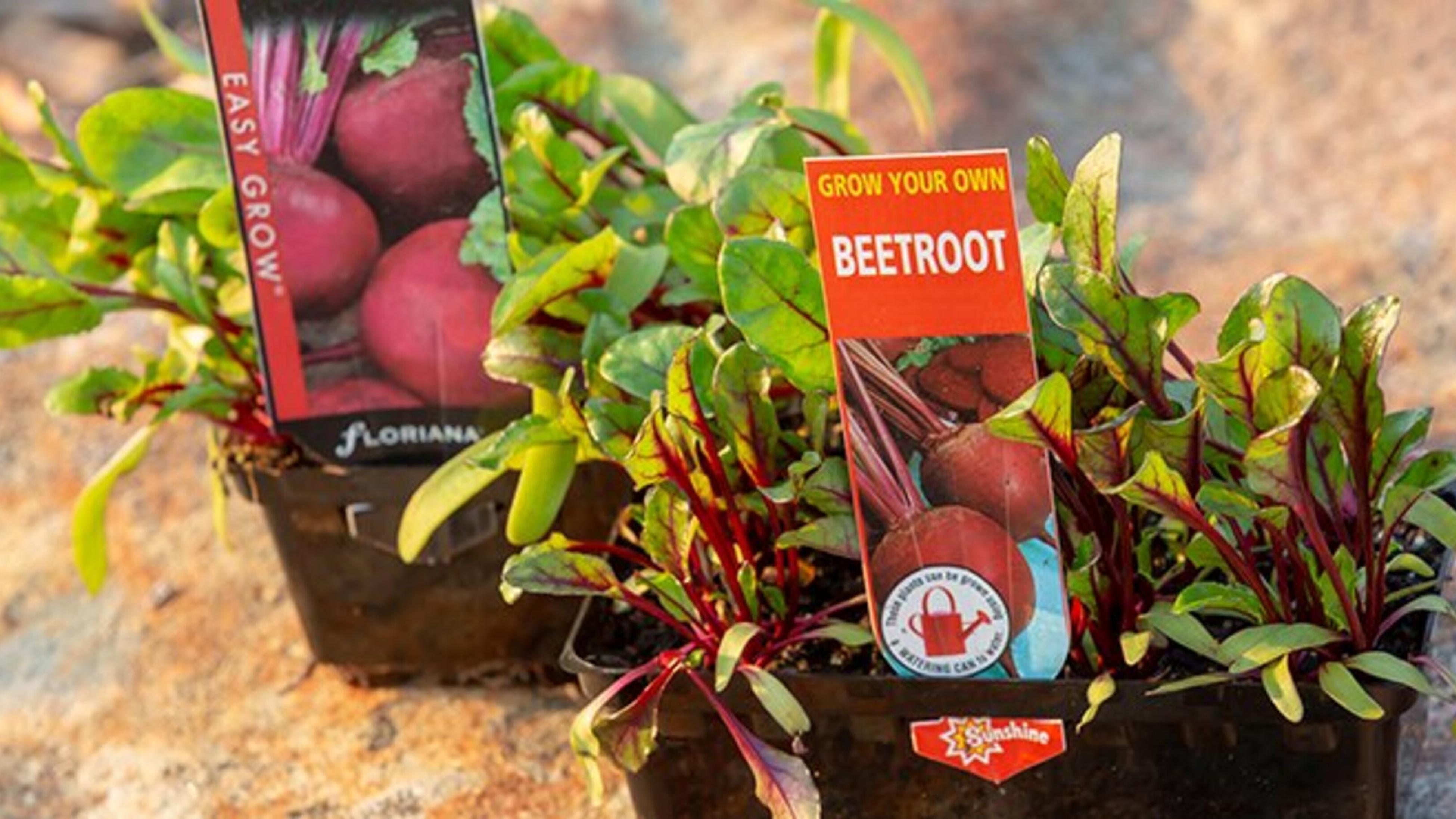 Beetroot seedlings.