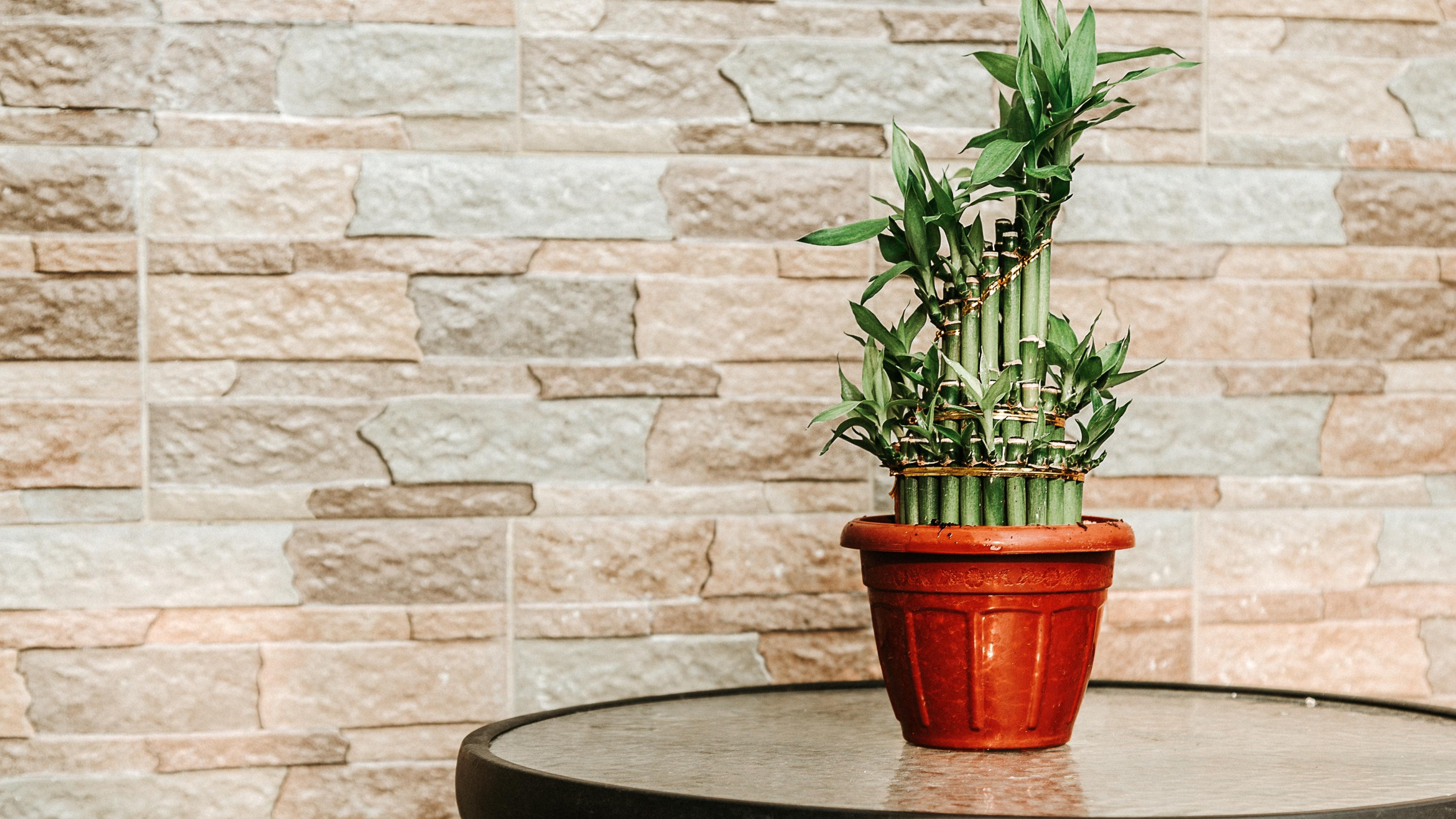 Lucky bamboo (Dracaena braunii)