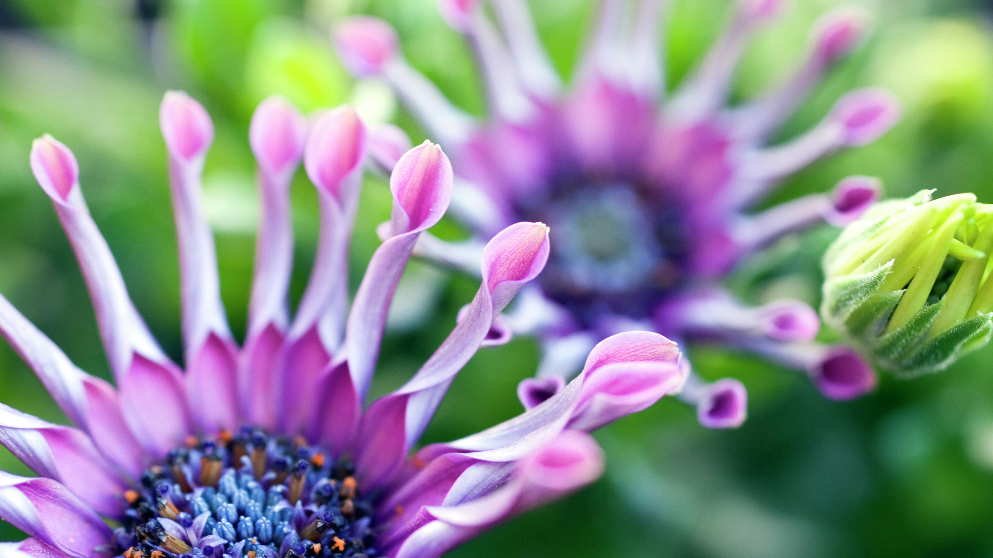 macro image of a purple osteospermum daisy