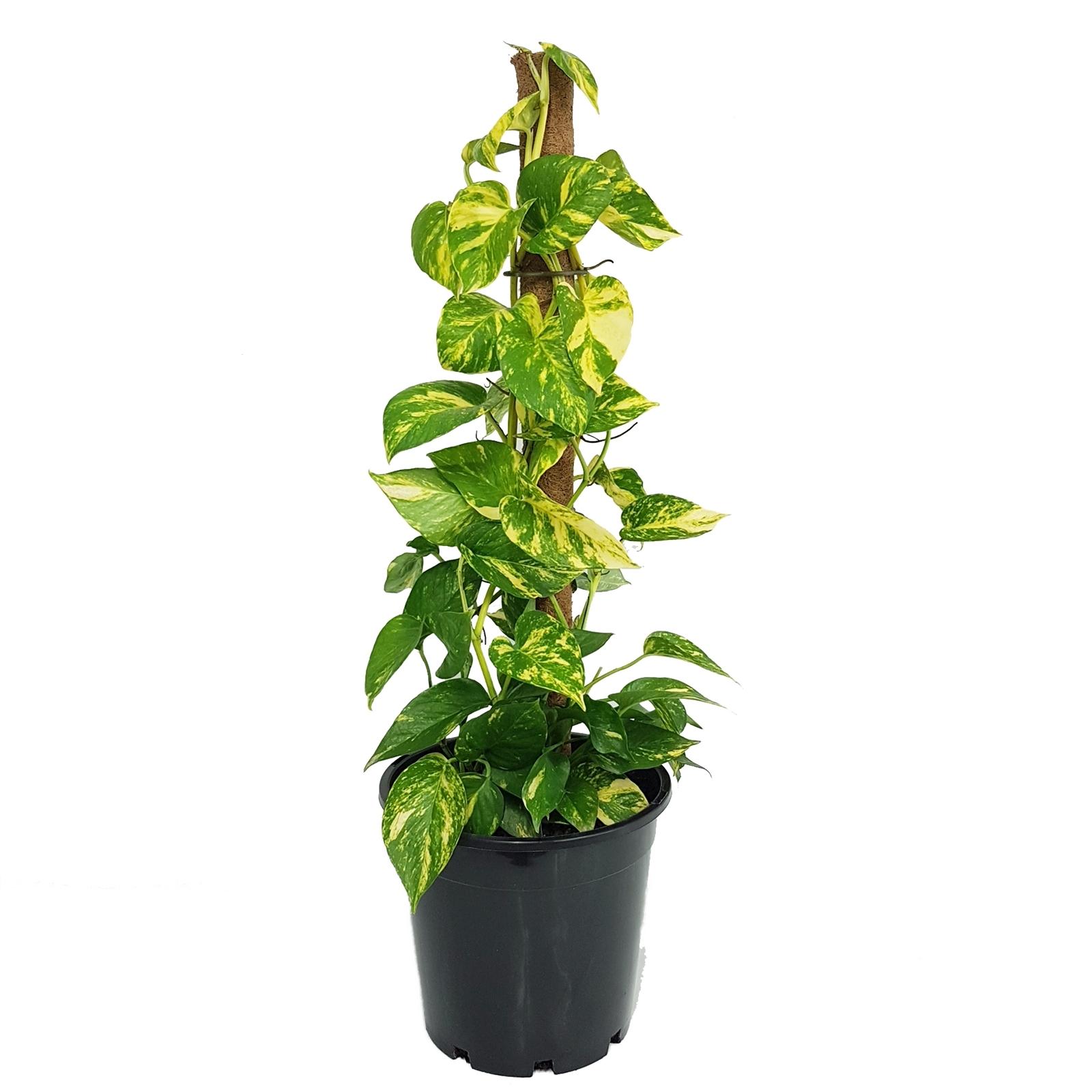 20mm Devils Ivy Pothos   Epipremnum auruem   Bunnings Australia