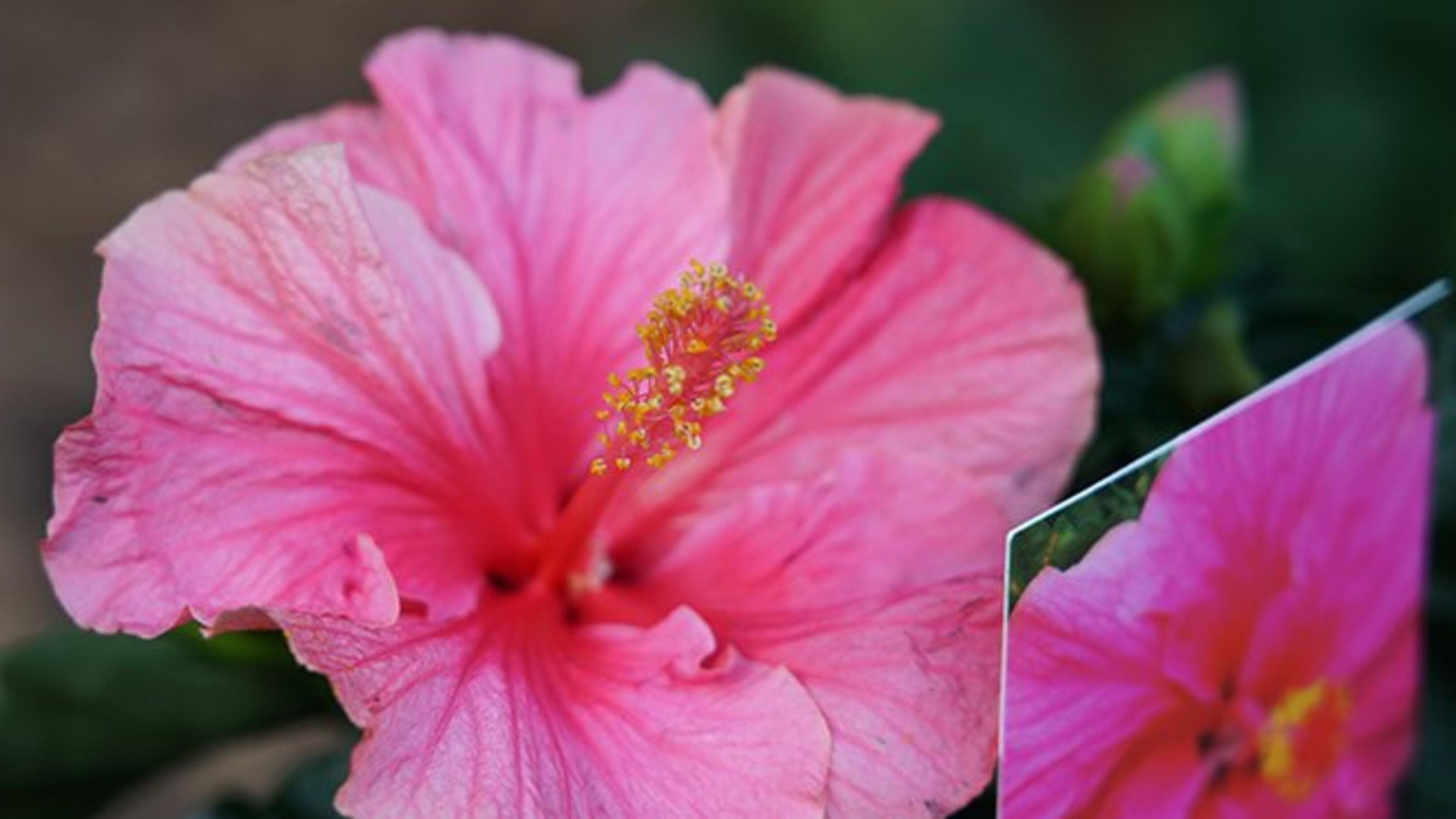 Close up of a pink hibiscus flower