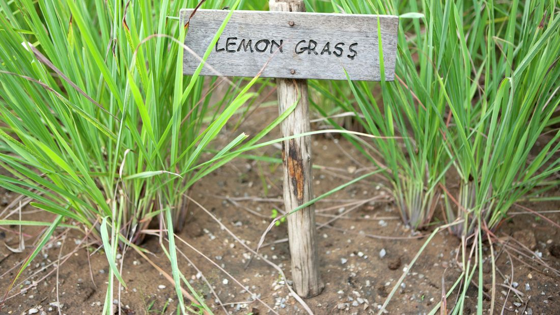 wide shot of lemongrass with a sign