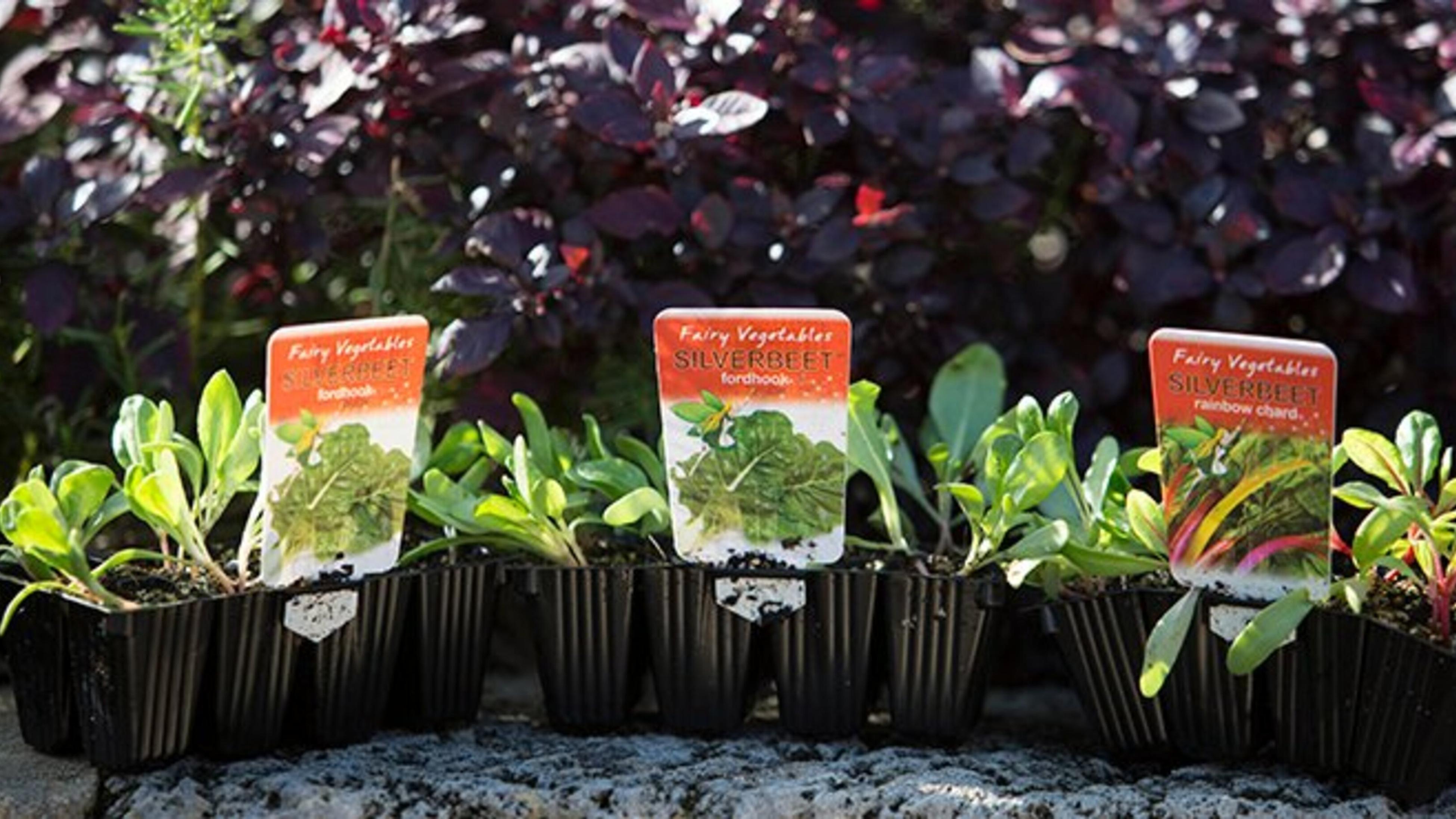 Three silverbeet seedlings.