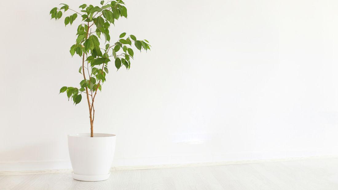 A standard fig in a pot