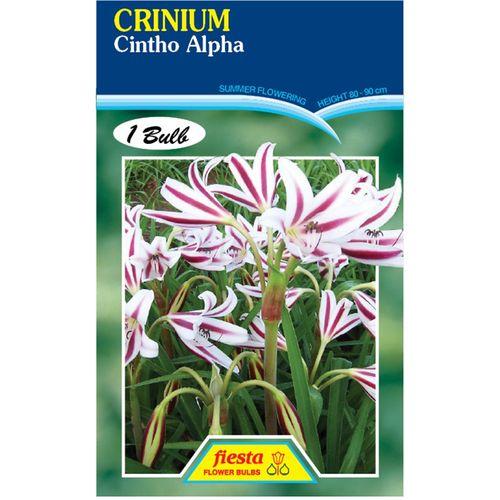 Crinium Lily Cintho Alpha Flower Bulbs