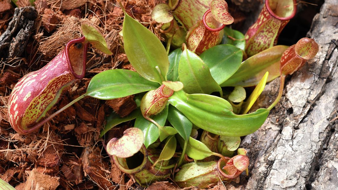 Pitcher plants growing in fibrous mulch
