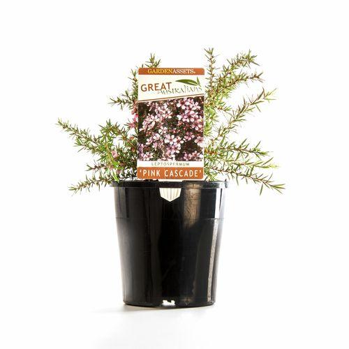 140mm Great Australian 'Pink Cascade' - Leptospermum