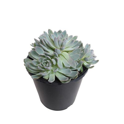 2.4L Violet Queen - Echeveria hybrid
