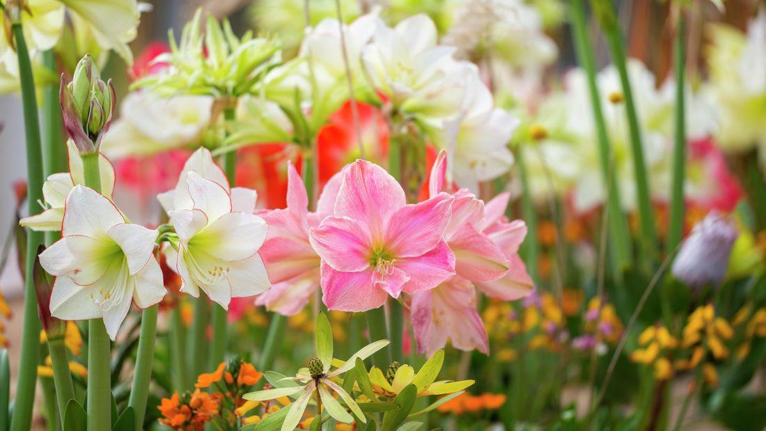Close up ofpink and white amaryllis flowers