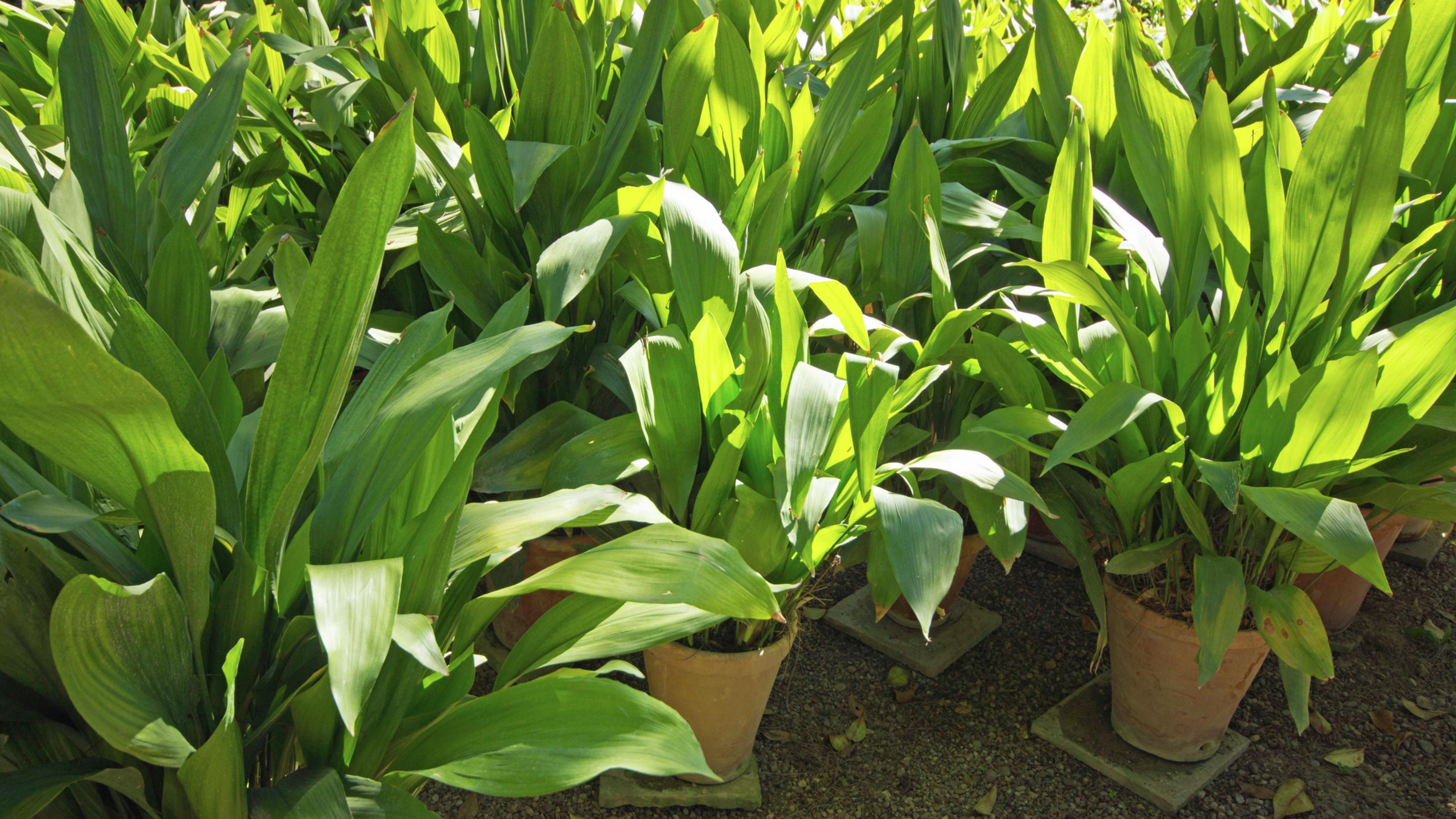 Cast Iron Plant (Aspidistra elatior)