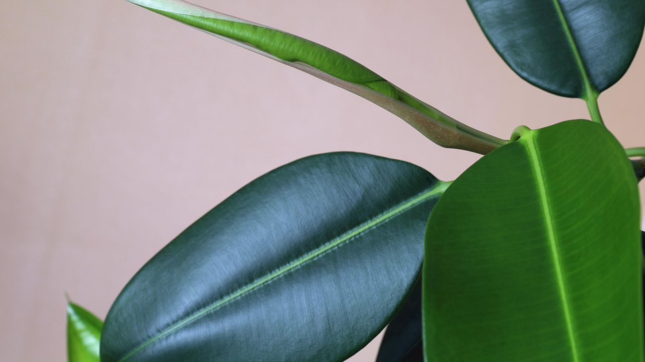A close up of the leaves on a ficus plant.