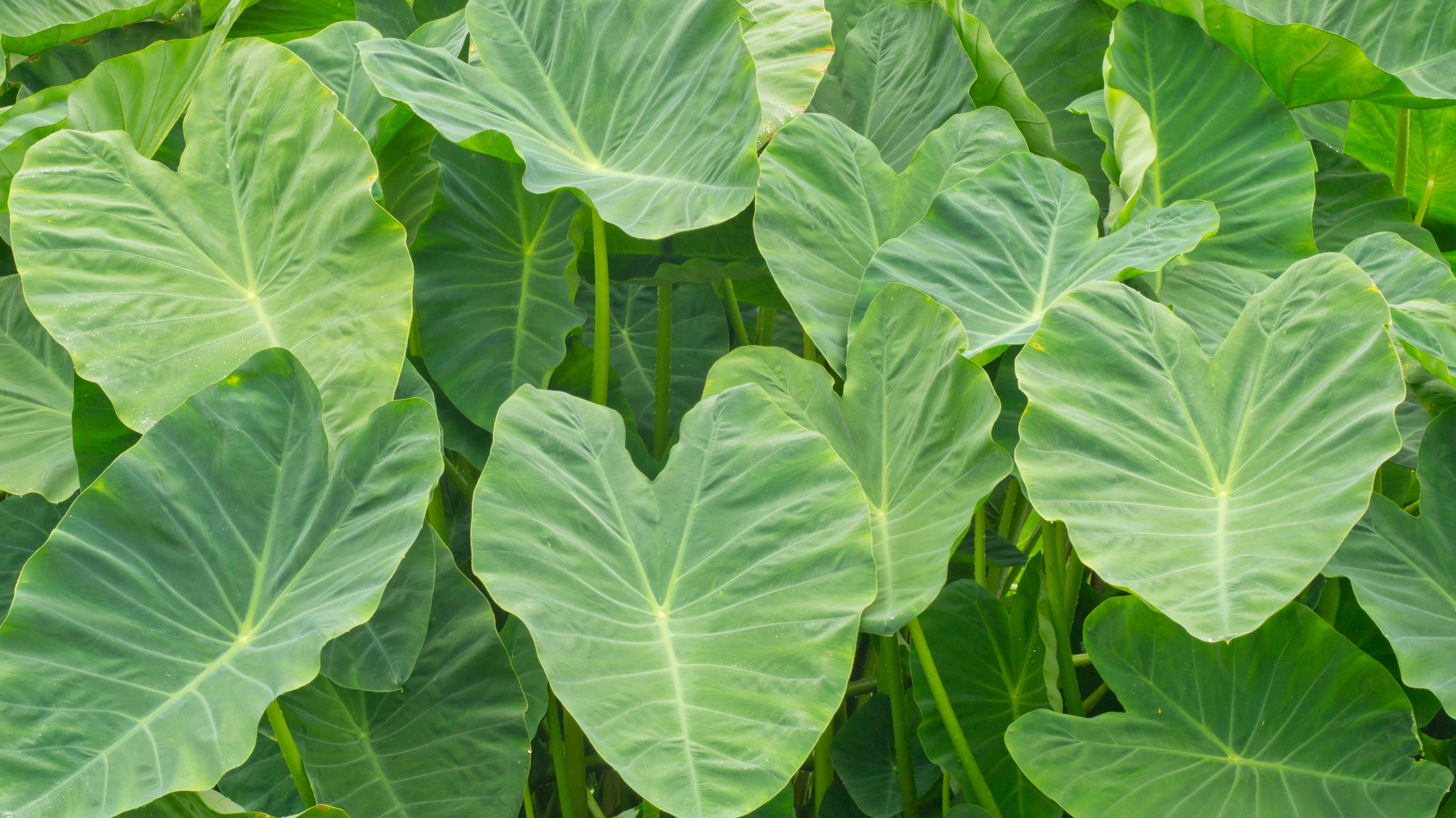 Green heart-shaped colocasial leaves.