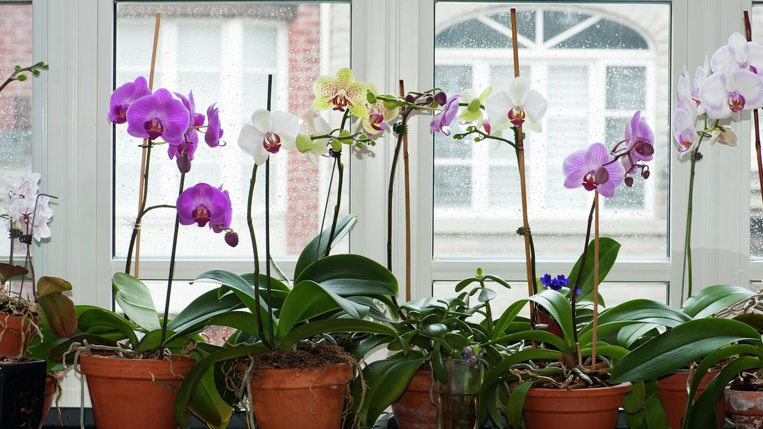 A selection of pink, white and yellow phalaenopsis orchids.