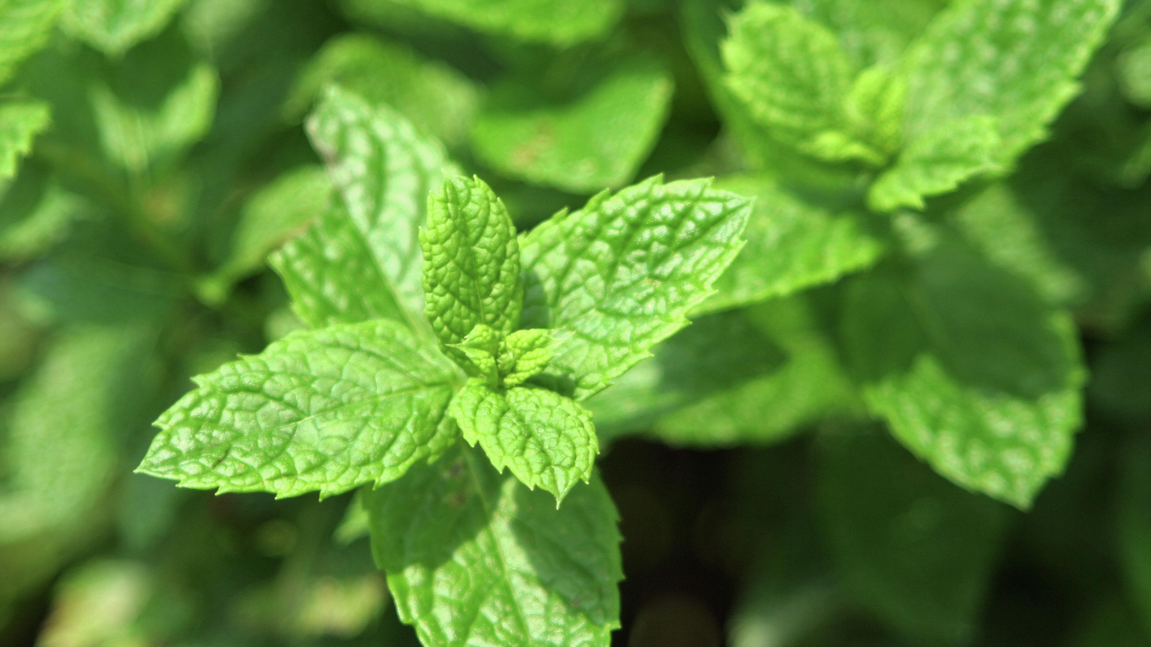 close up of a mint plant