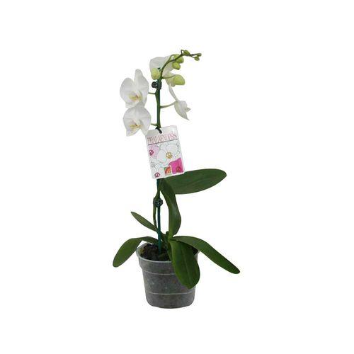120mm Moth Orchid - Phalaenopsis