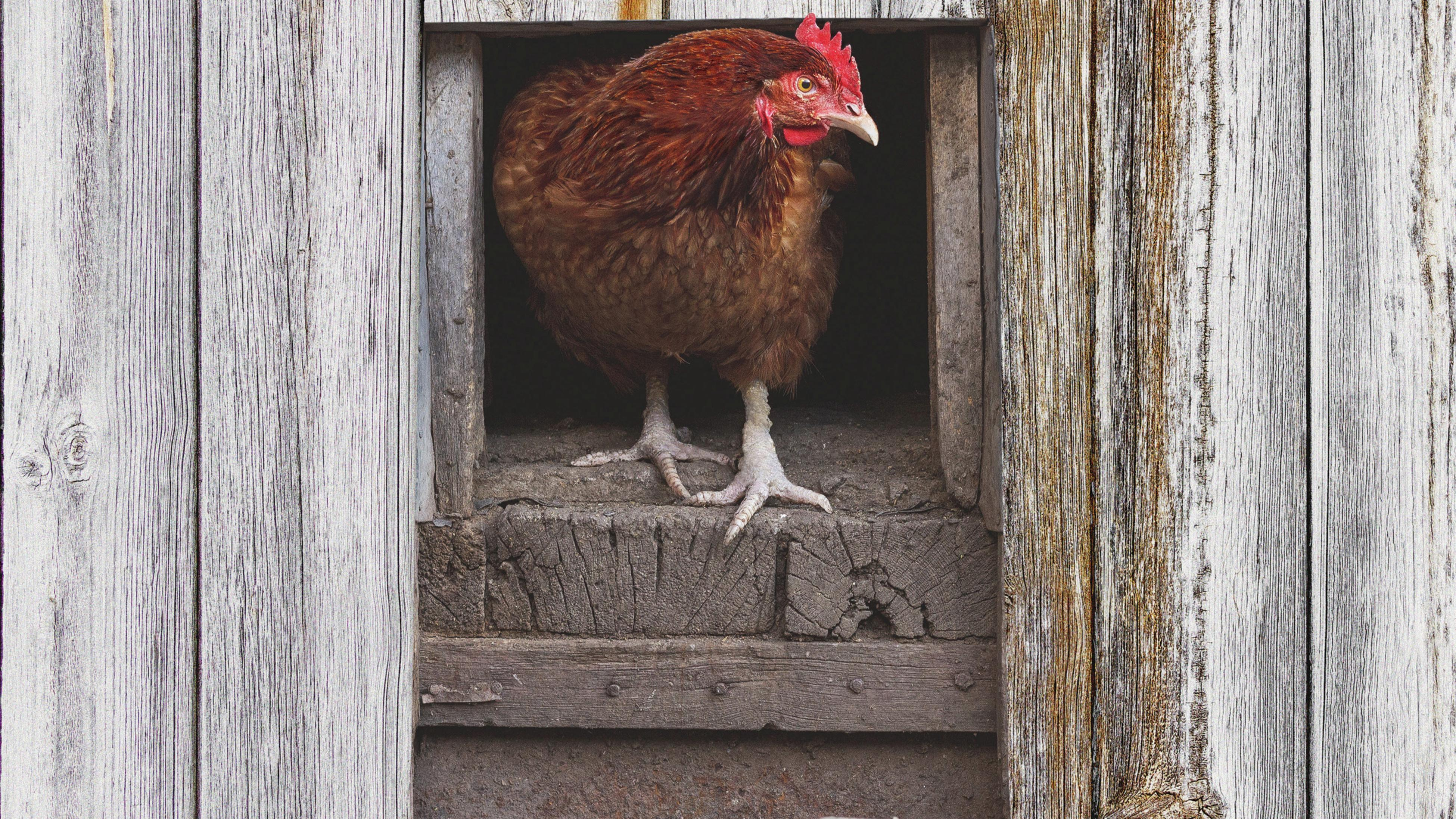 Close up of a chicken in a coop.