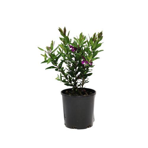 140mm Polygala - Polygala myrtifolia grandiflora