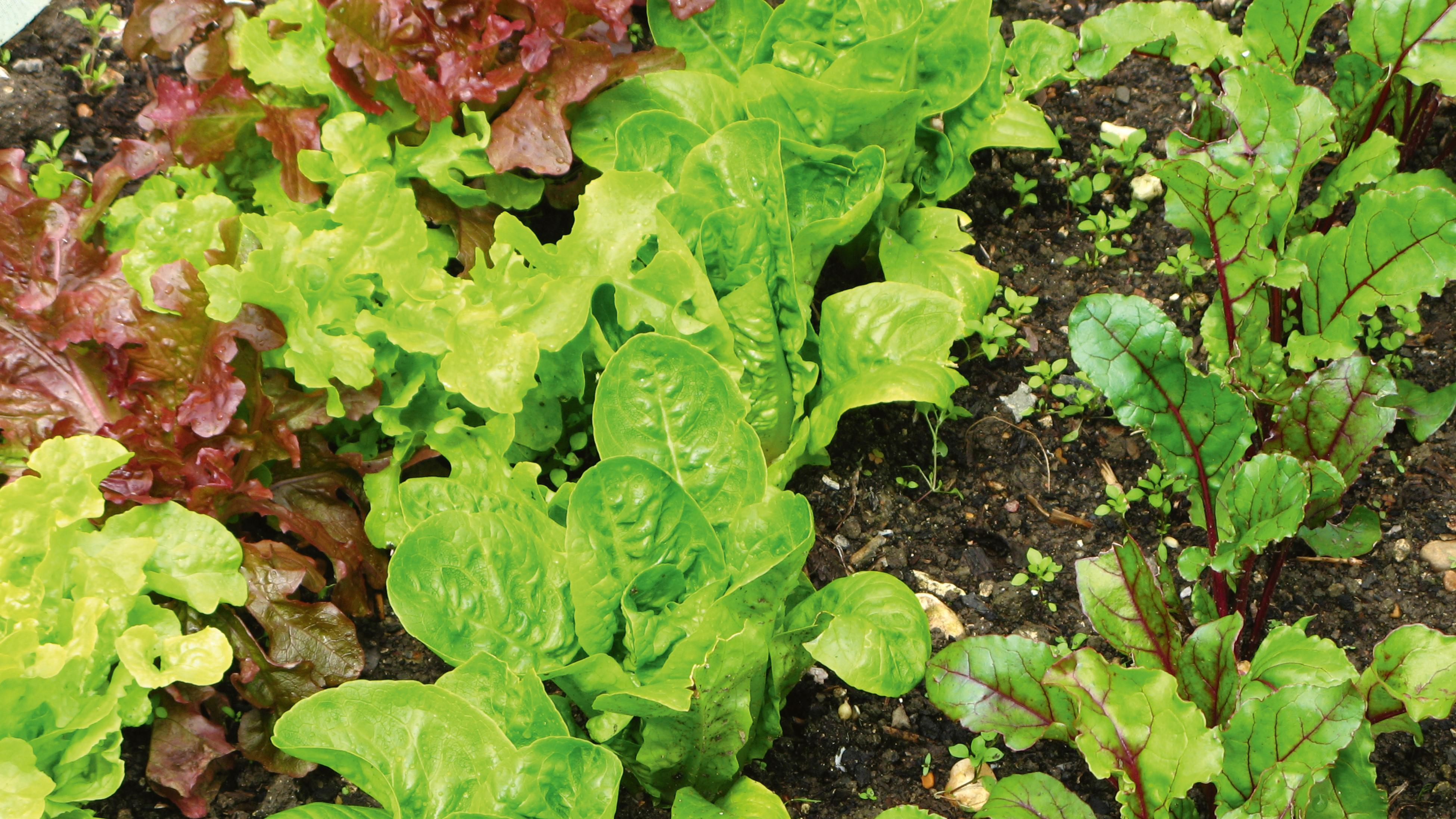 Herb, lettuce and spinach seedlings growing in a garden bed