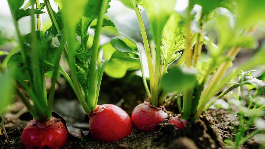 Red radishes growing in a garden bed