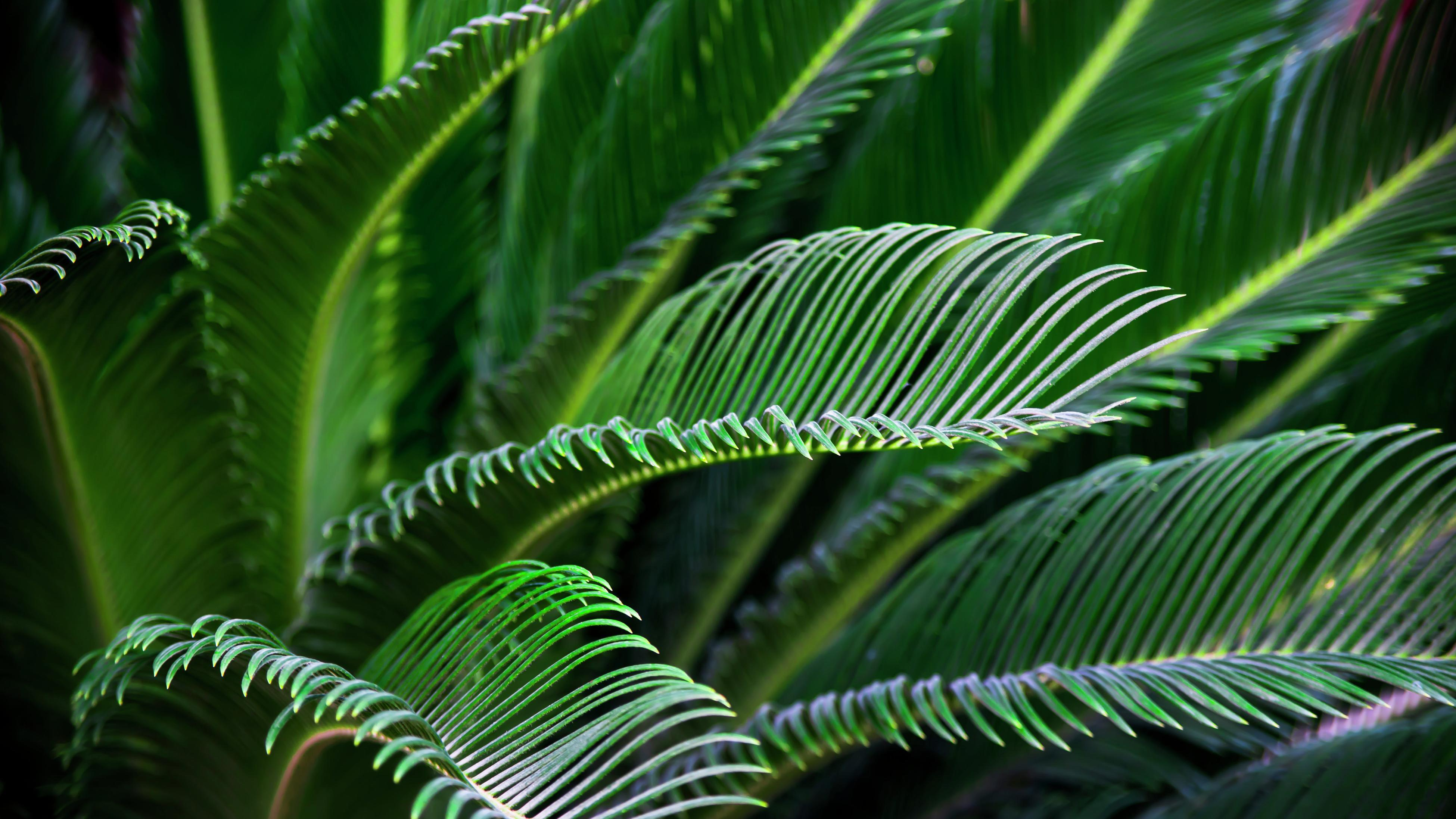 Green cycad fronds in a garden