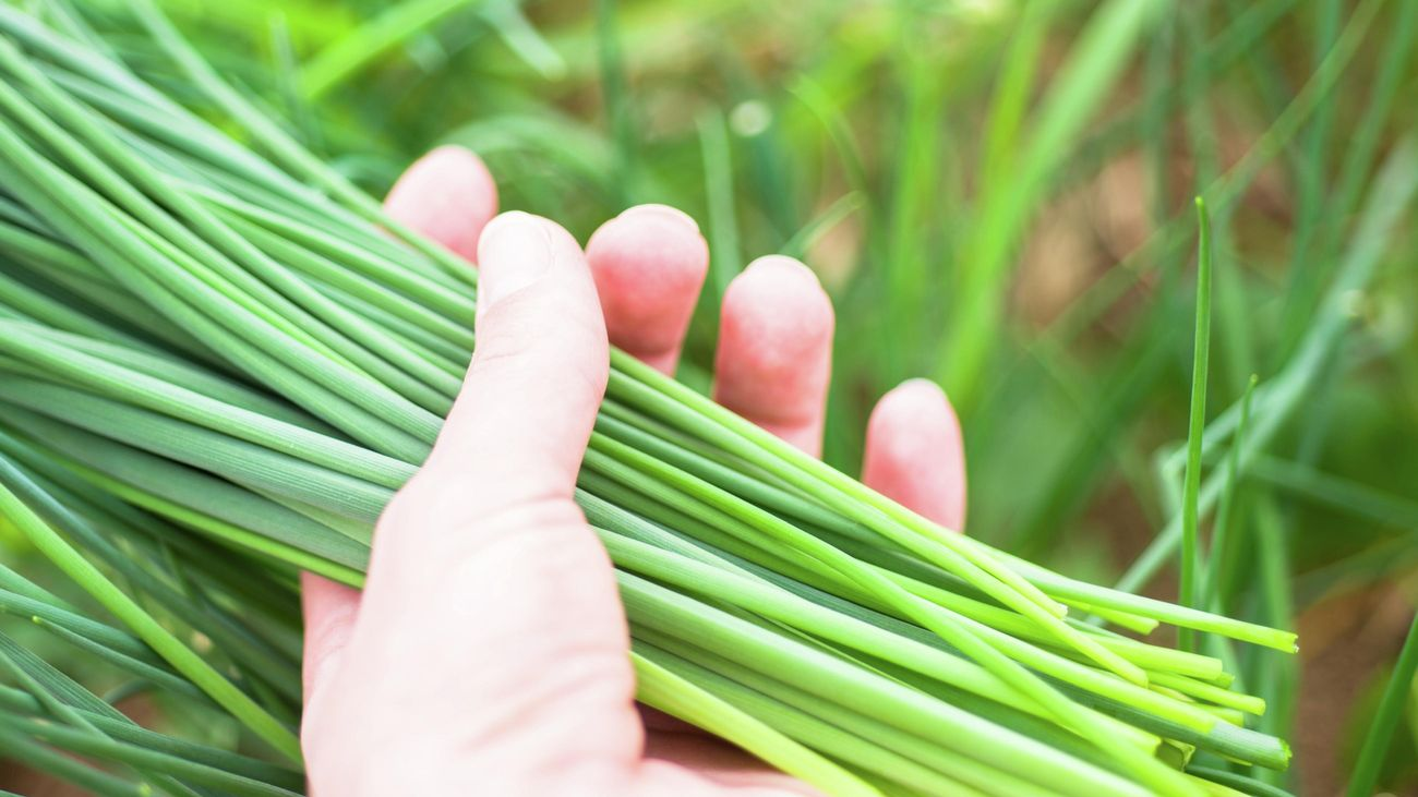 Person with chives in hand.