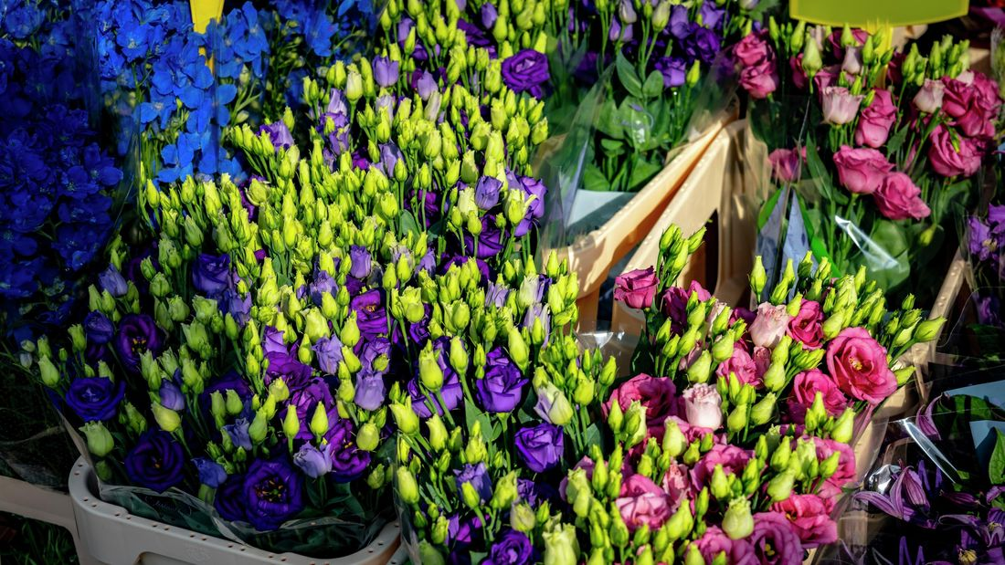 Vibrant blue and pink hues of lisianthus flowers in a florist
