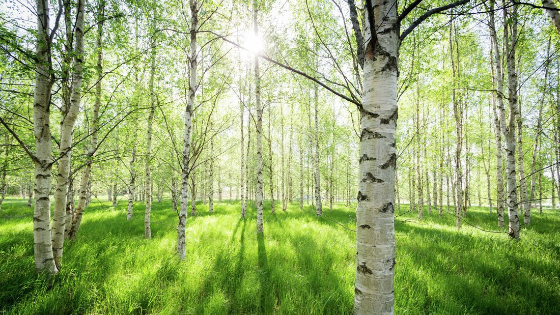 The sun shining through silver birch trees