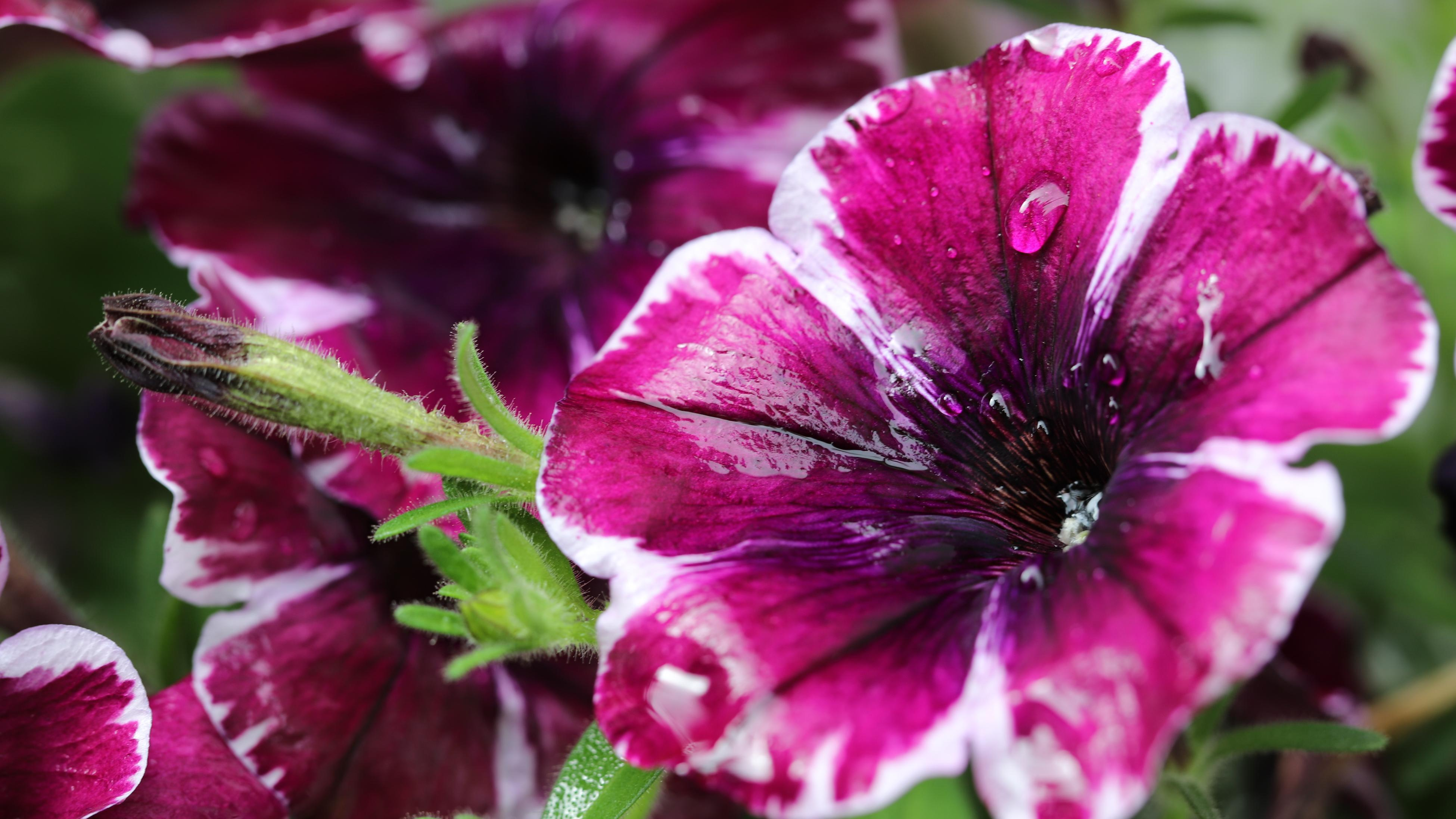 A purple and white petunia flower in a garden