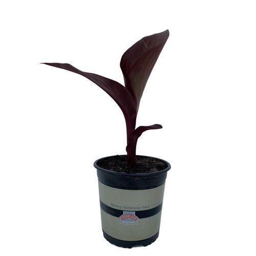 2.5L Canna Lily - Canna tropicanna Black