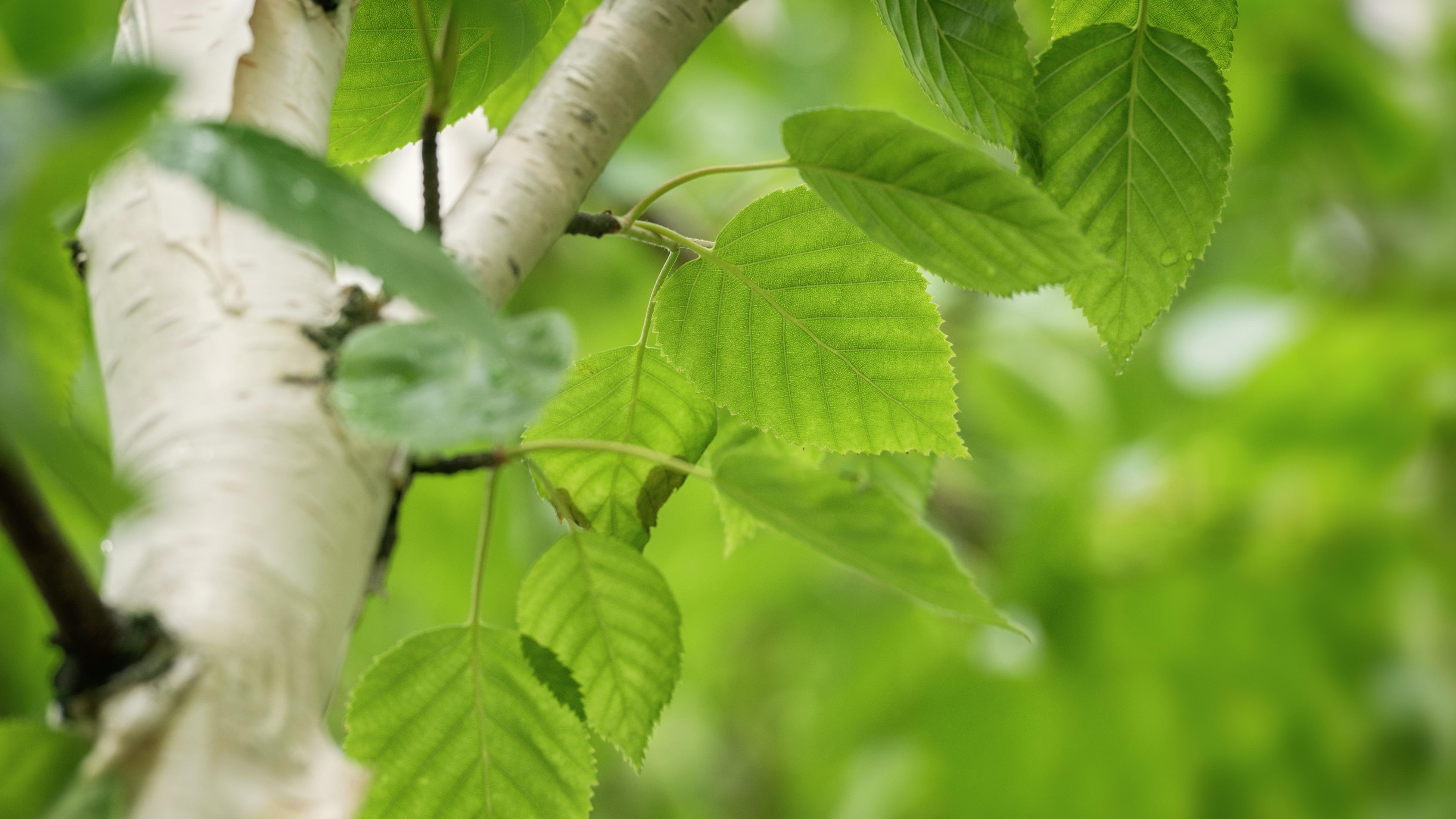 close up of a silver birch branch with vibrant green foliage