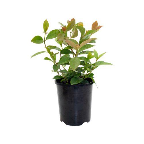 140mm Lemon Guava - Psidium cattleianum Lucidum - Pick Me Edibles Range