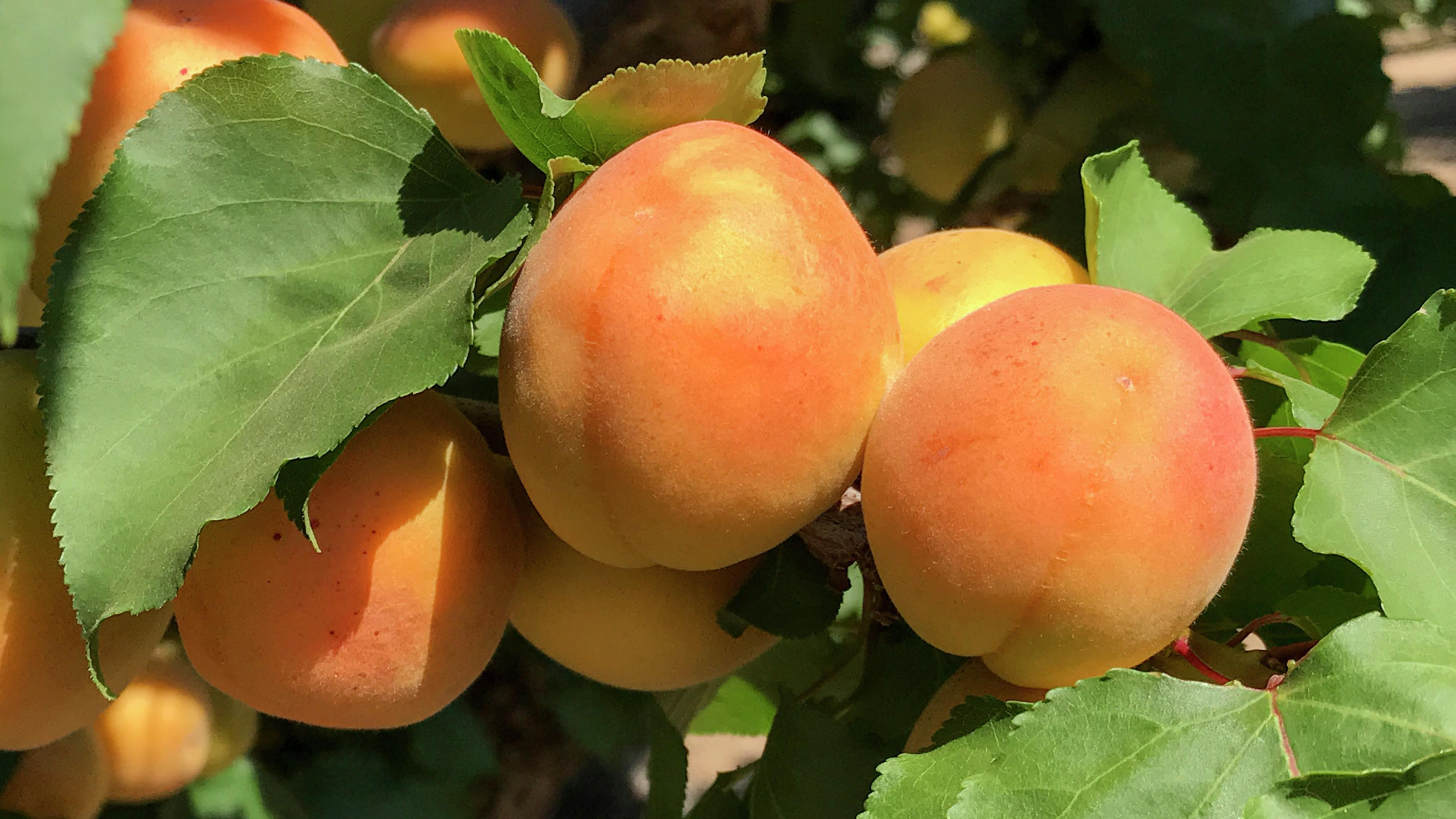 close up of apricots ripening on the tree