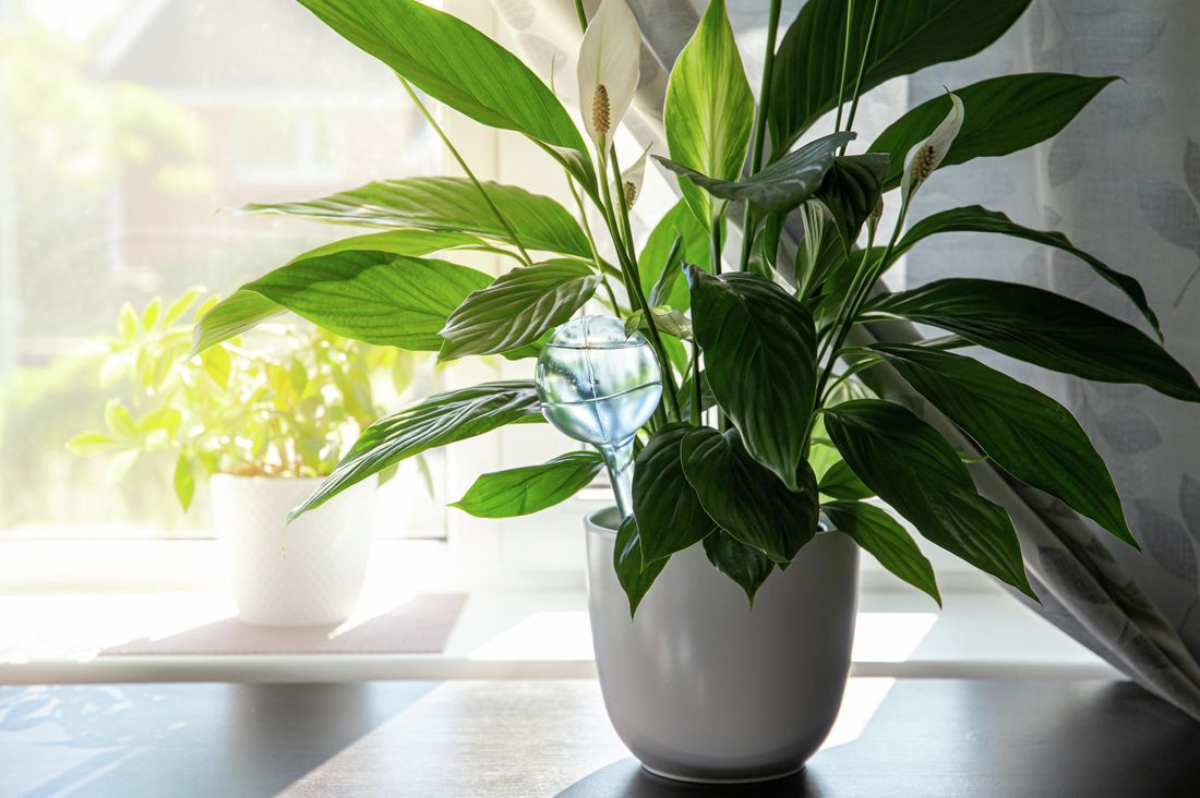 Peace lilies in a pot inside a house with a window behind