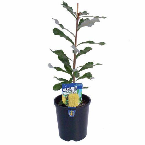 140mm Coast Banksia - Banksia integrifolia