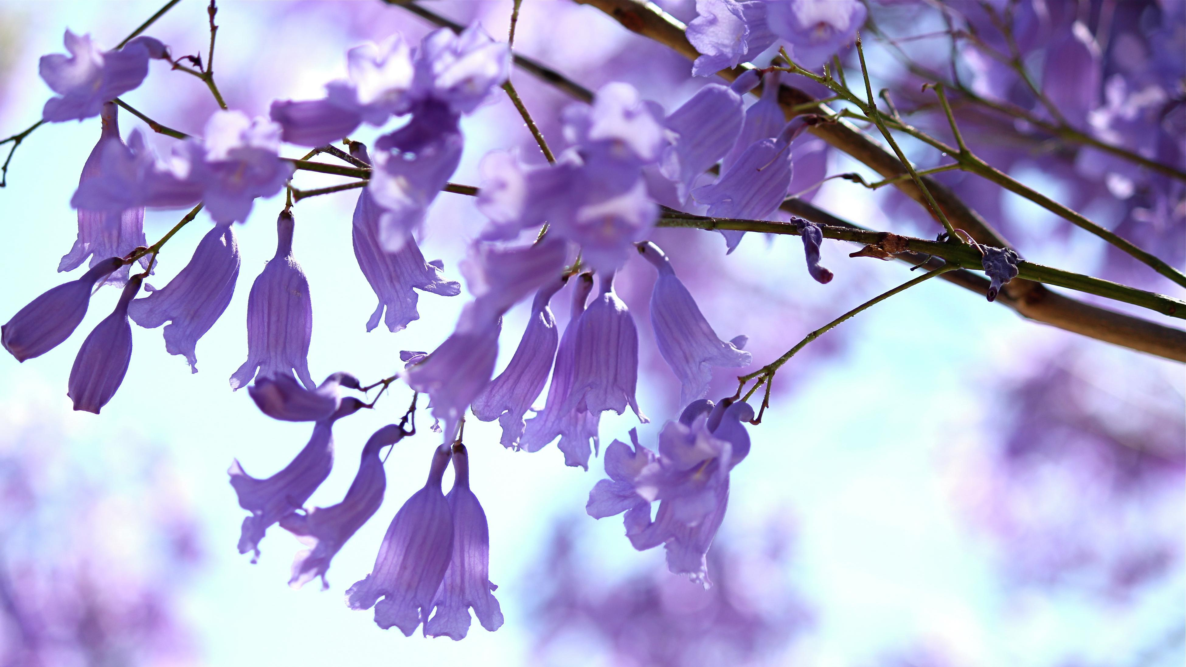 Close up of the delicate lilac flowers of the jacaranda tree.