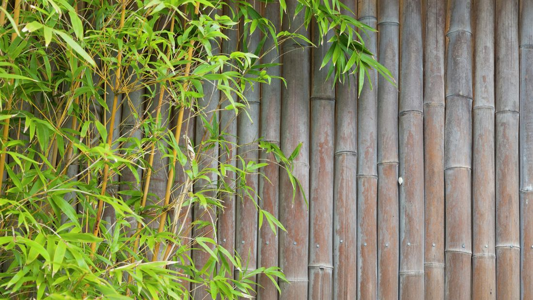 Thin bamboo growing next to a thick bamboo wall screen